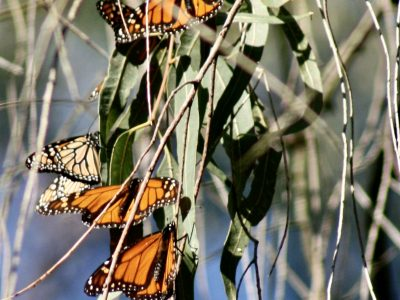 monach butterflies