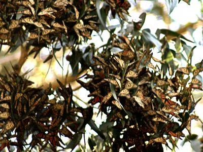 monach butterfly cones